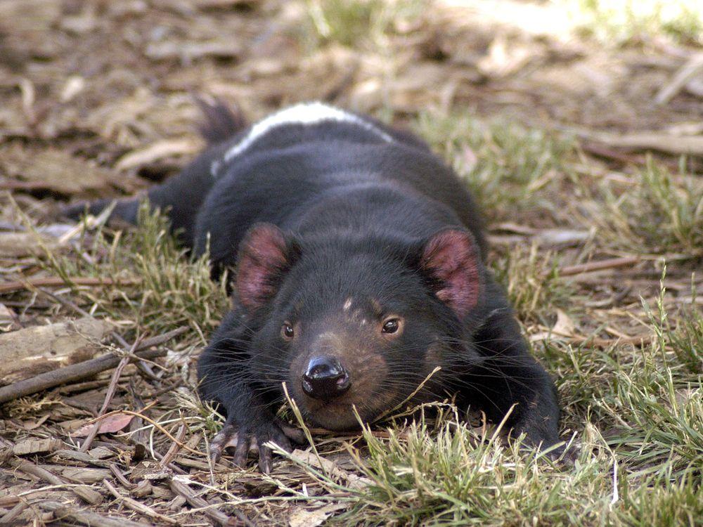 A Tasmanian devil relaxes in the sun