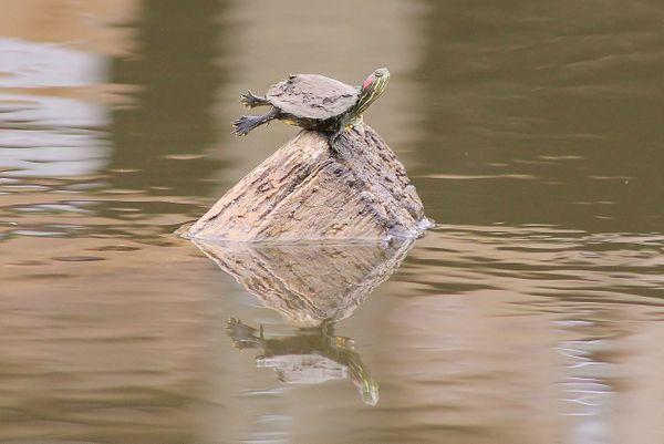 Sunbathing Turtle thumbnail
