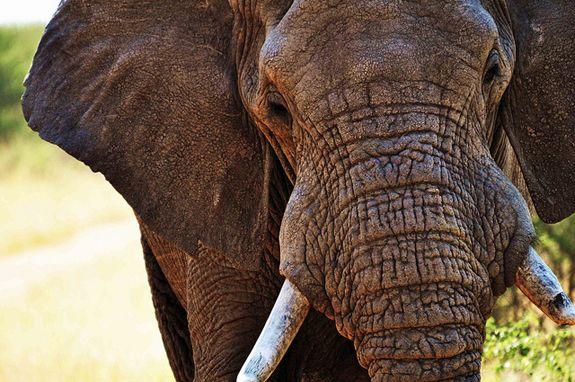 2012071311200707_13_2012_ivory-poachers.jpg