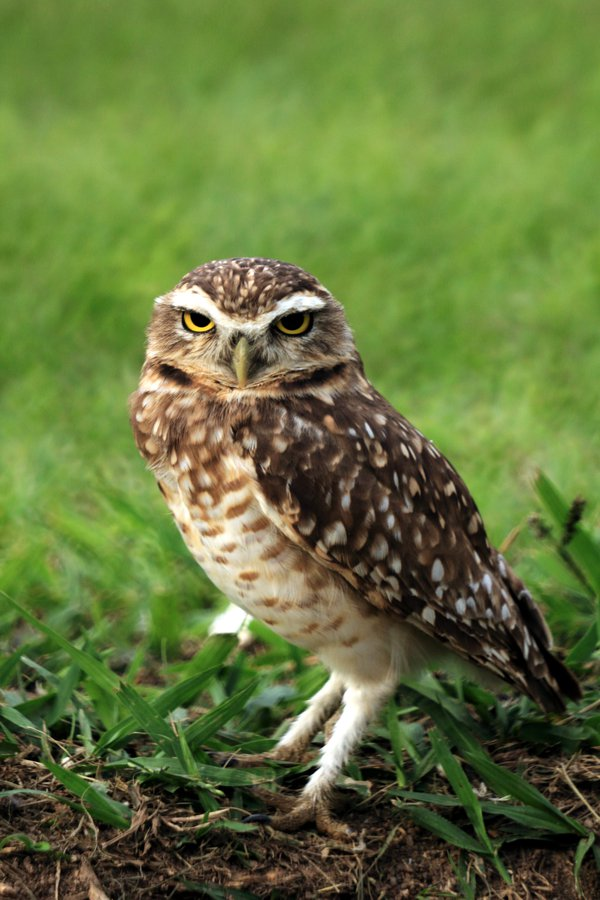 A burrowing owl stand guard in front of its nest. thumbnail