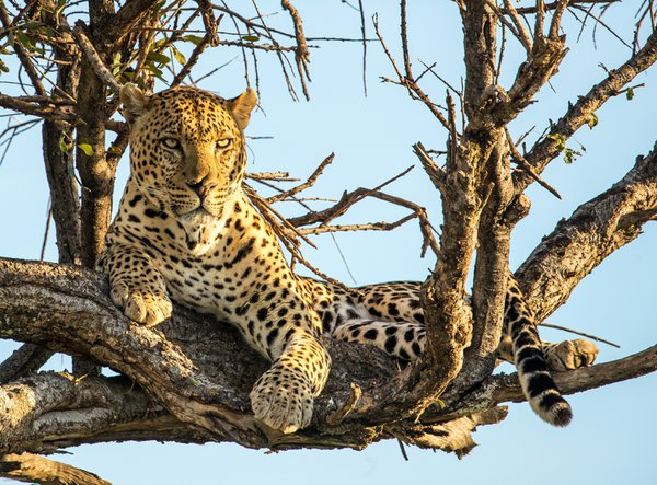 Found a Leopard in a tree in the Masai Mara, Kenya thumbnail