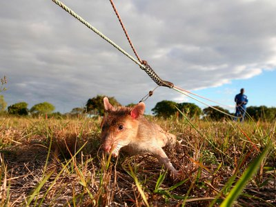 In Mozambique, rats, like this one shown, have been used to detect land mines. Now they're being put to work to aid the fight against tuberculosis.