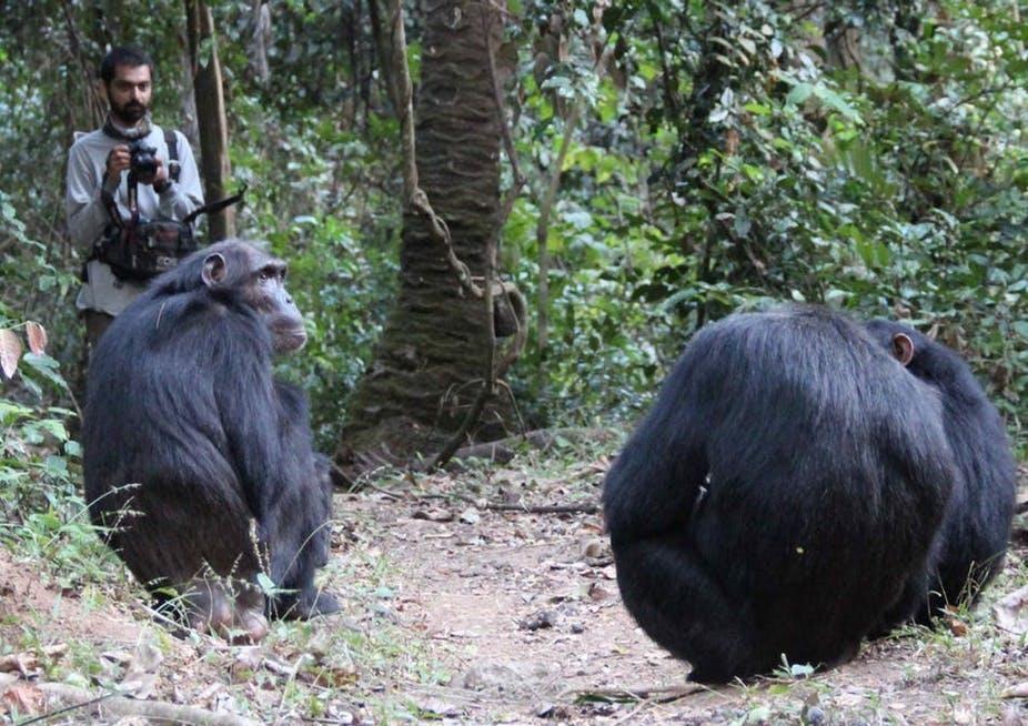 Nisarg Desai observes wild chimps known as Sandi, Ferdinand and Siri in Tanzania.