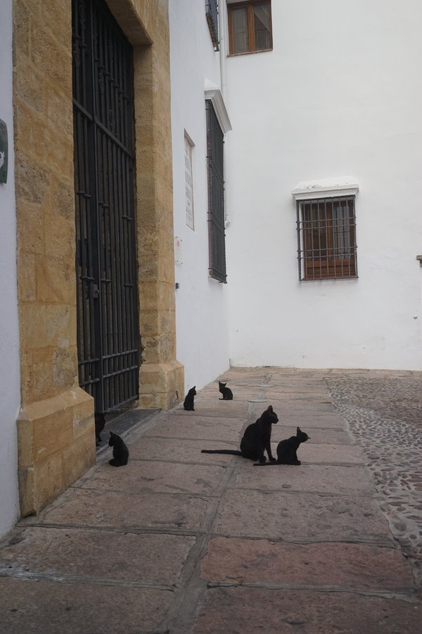 Córdoba cats at the Bullfighting Museum thumbnail