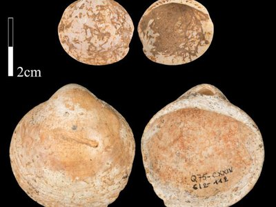 A set of 120,000-year-old shells from the Qafzeh Cave in northern Israel. Ancient humans collected these shells, which had natural perforations, and arranged them on lengths of string.
