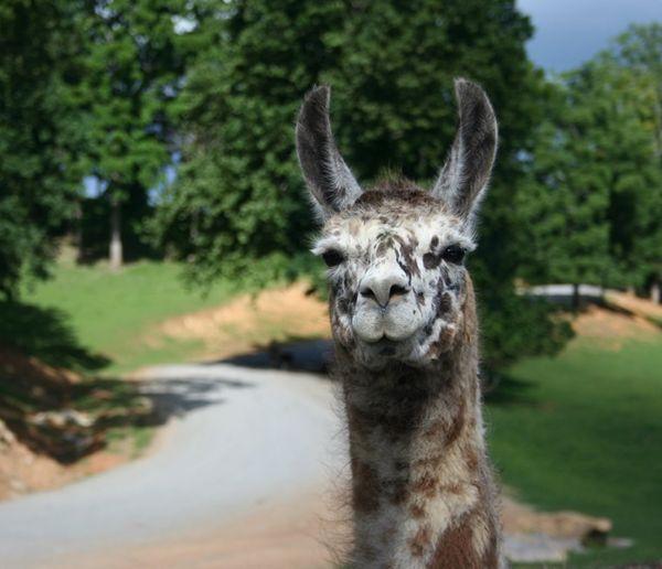 A sweet Llama Smile thumbnail