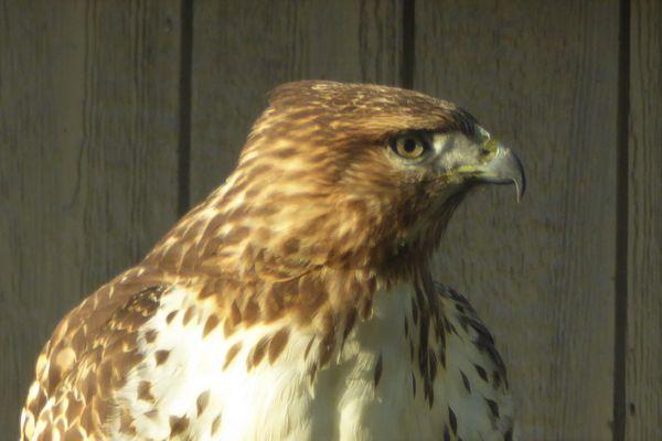 Juvenile Red Tailed Hawk thumbnail