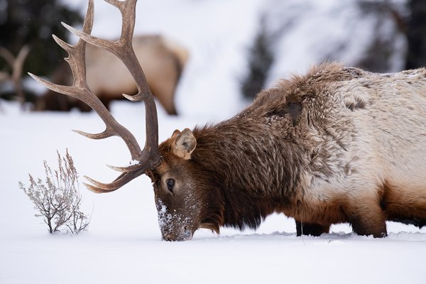 Bull elk in snow thumbnail