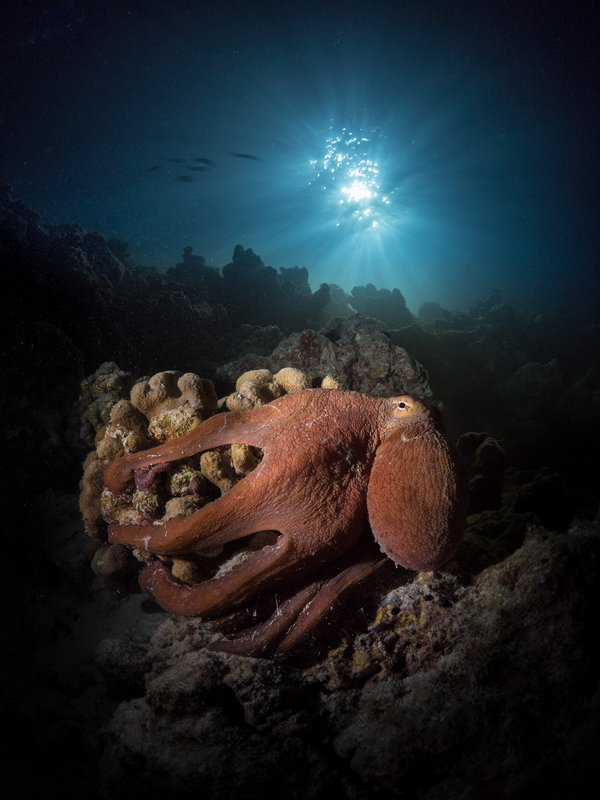 Octopus at night thumbnail
