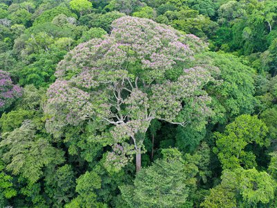 The purple-flowered crown of Dipteryx oleifera, one of the biggest trees on Barro Colorado Island, Panama, towers above the forest. Big trees may be most exposed to the effects of climate change: more frequent and severe drought, and the high winds and lightning of monster storms. (Evan Gora)