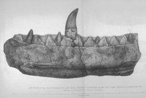 20110520083157Buckland_Megalosaurus_jaw-300x203.jpg