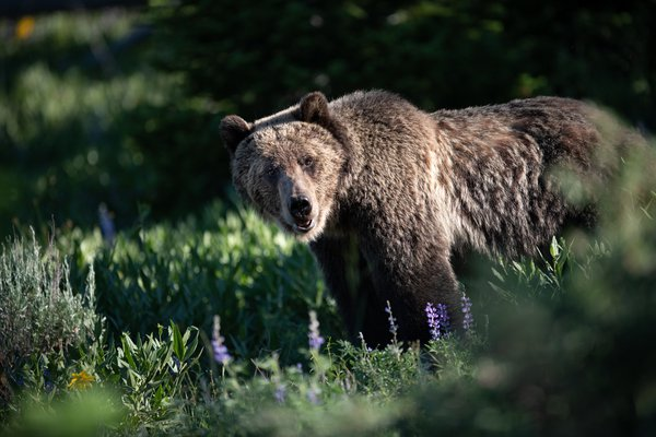 Morning Grizzly thumbnail