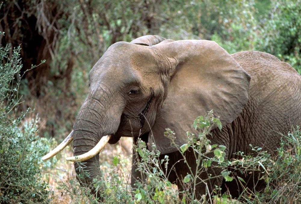 African_elephant (2).jpg
