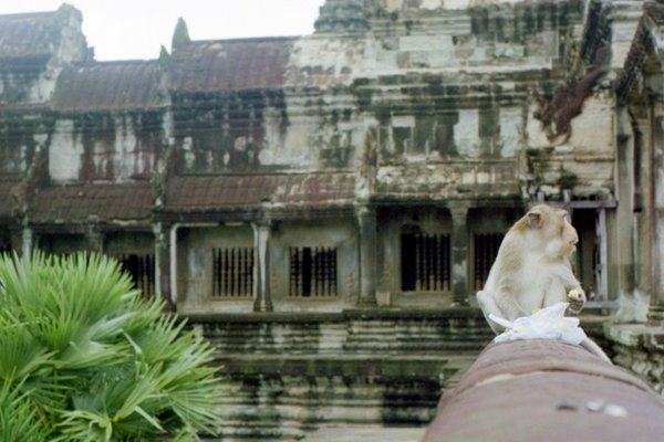 A Cambodian monkey snacking on a tourist's low hanging fruit. thumbnail