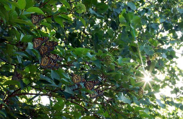 Monarchs & Sunlight thumbnail