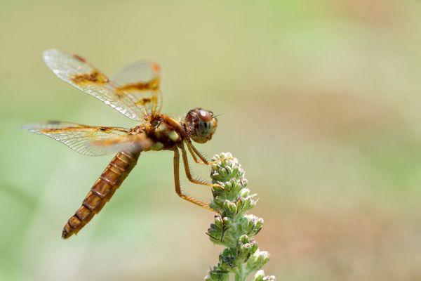Dragonfly Portrait thumbnail