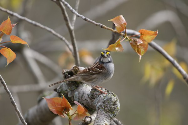 White throated sparrow thumbnail