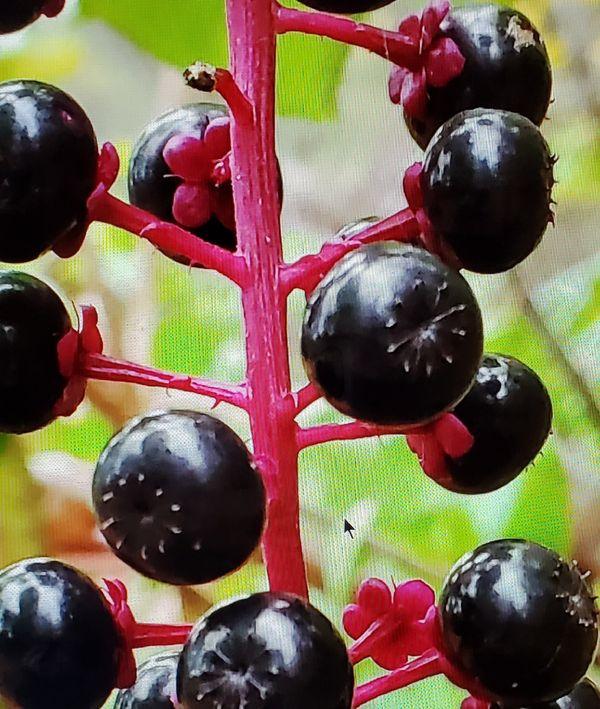 A branch of wild berries near my home enhanced. thumbnail