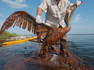 A worker rescues a severely oiled brown pelican along the Louisiana shore in June 2010.