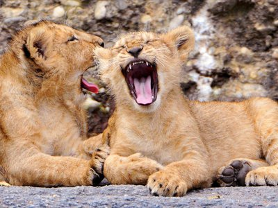 New research finds lions that have just yawned together are more likely to move in unison.