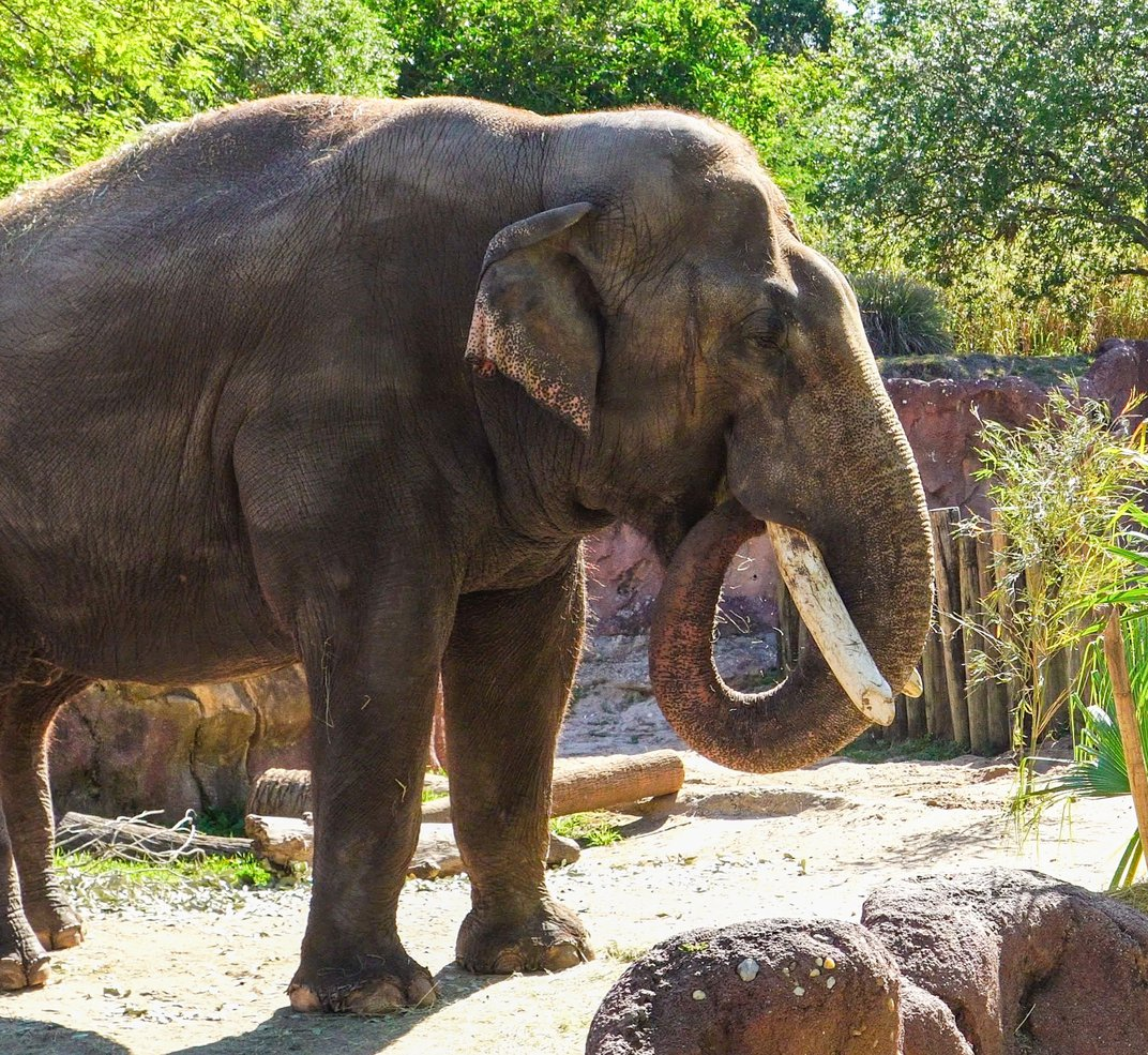 Meet Spike, the Affable Asian Bull Elephant Trucked Up From Florida to Join the National Zoo