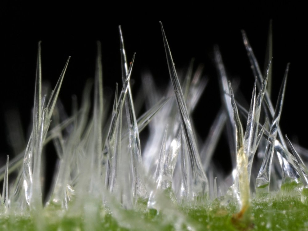 Close up of stinging tree hairs on the leaves, which are clear and almost resemble tiny icicles