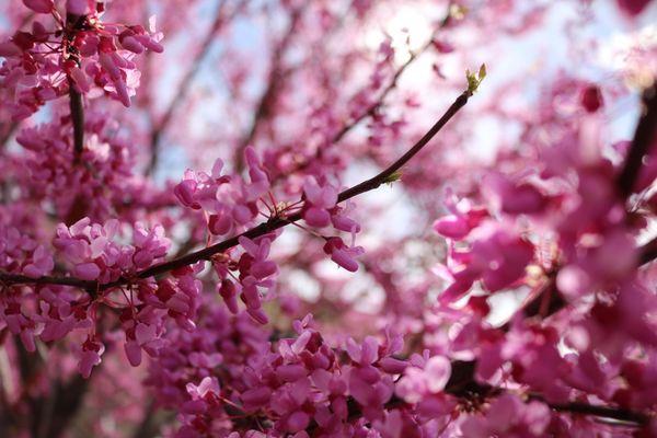 Cherry Blossom Details thumbnail