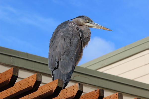 Heron perched thumbnail