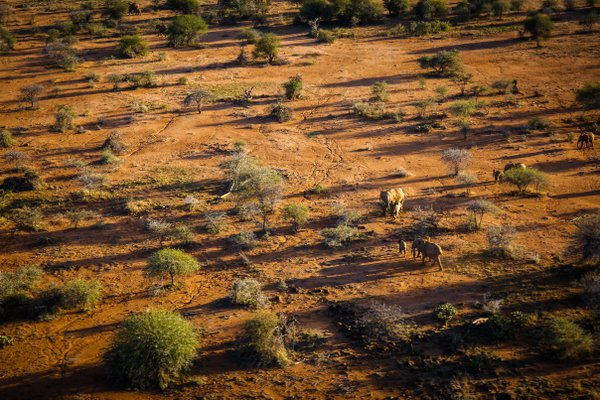 Elephants graze parched land, Kenya thumbnail