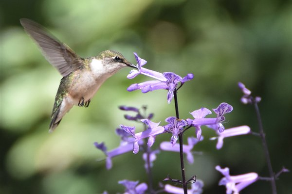 Female red throated hummingbird. thumbnail
