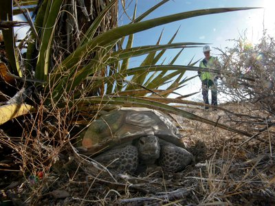 A California biologist watches an old male desert tortoise from a distance following the construction of a solar farm in 2011.