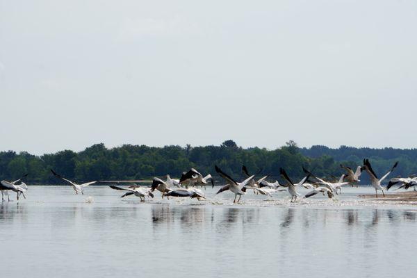 Pelicans take flight on Lower Wisconsin River sandbar thumbnail