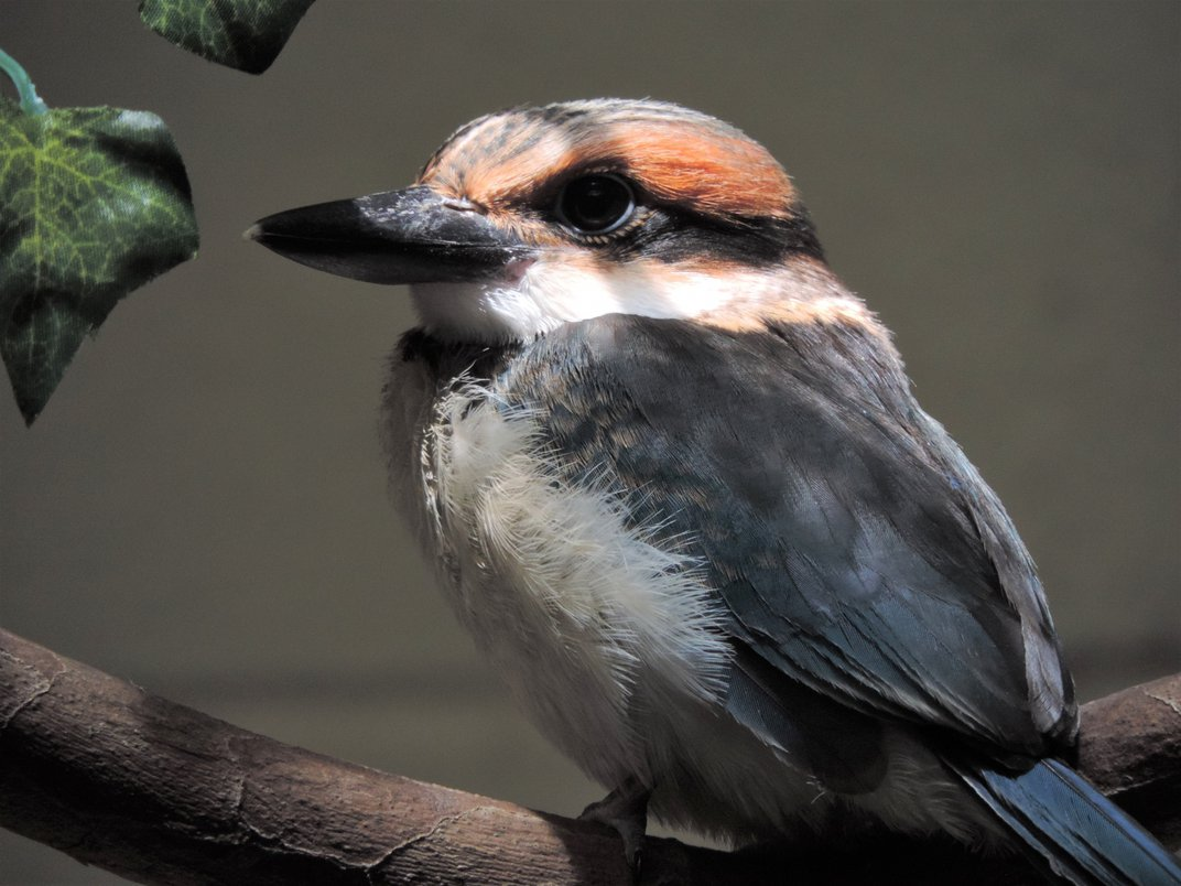 A 41-day-old Guam kingfisher chick perched on a branch.