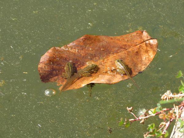 Sunbathing tadpoles thumbnail