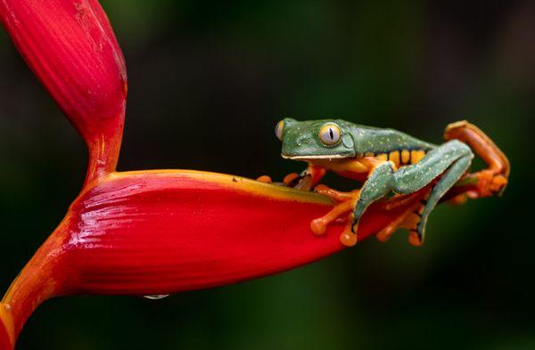 Splendid Leaf Frog thumbnail