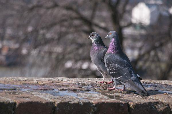 pigeons thumbnail