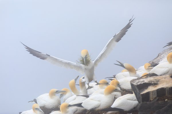 Gannet colony thumbnail
