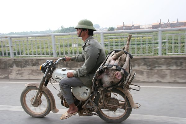 Motorcyclist With Pig Going To Market, Northern Vietnam, November 2006 thumbnail