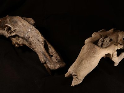 Two skulls belonging to extinct marine mammal herbivores used in the new study, both from the Smithsonian's collections.