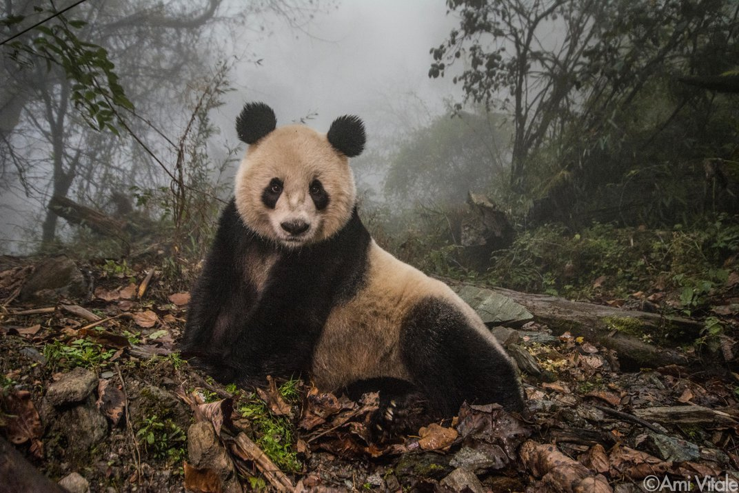 Why Photographing Pandas Is More Challenging Than You Might Think