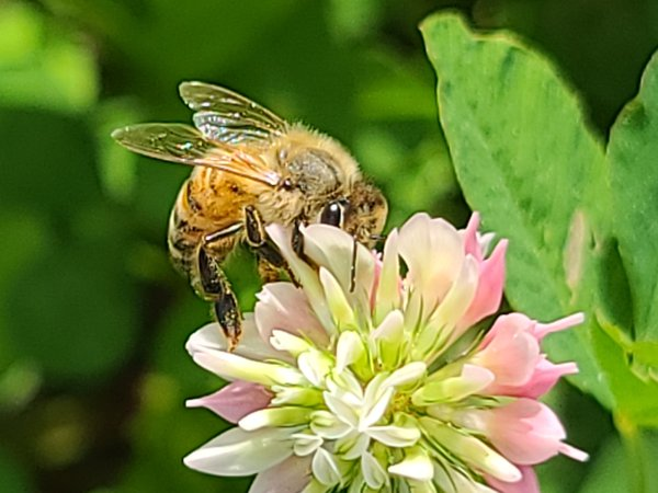 Honey Bee on White Clover thumbnail