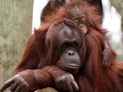 Orangutans may not wean for years, a new study shows.