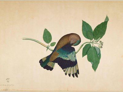 Indian Roller on Sandalwood Branch, by Shaikh Zain ud-Din, Impey Album, Calcutta, 1780.