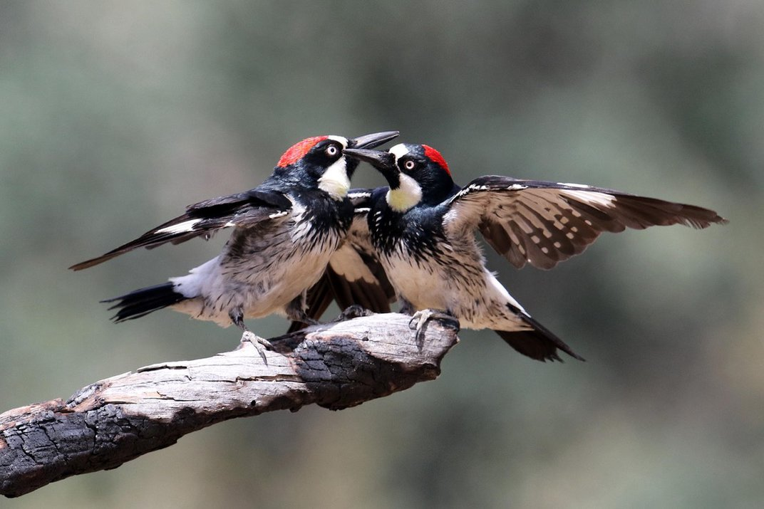 Two red, white and black birds fighting on a branch.