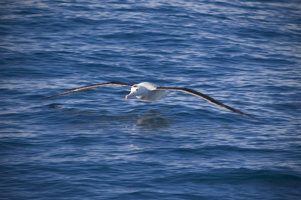 An Albatross cruises the Pacific Ocean off the coast of Kaikoura, New Zealand. thumbnail