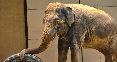 Shanti the Asian elephant