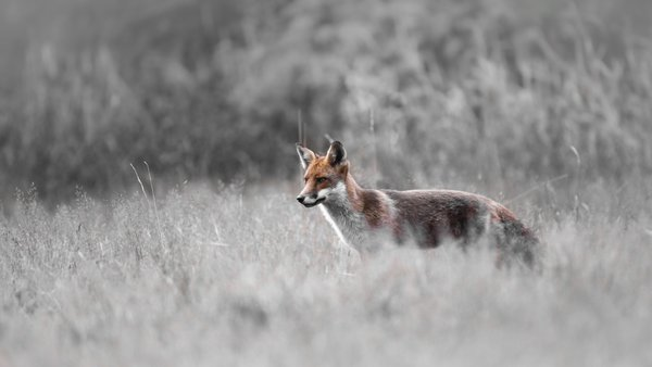 Red Fox standing in a meadow thumbnail