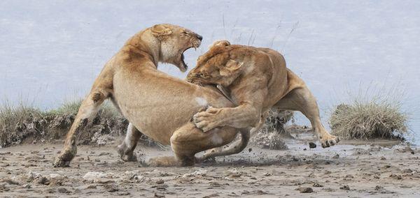 Lion Fight thumbnail