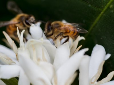 Despite the predicted declines, at least five species of bees would survive in areas that would still be suitable for growing coffee, says the new study.