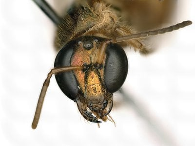 The face of a sweat bee (Megalopta amoena) that is half female (viewer's left, bee's right) and half male (viewer's right, bee's left)